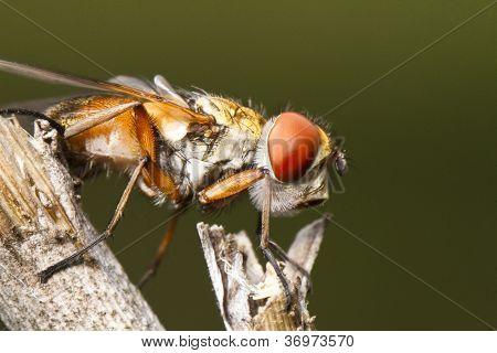 Tachina Fly