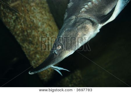 Clouseup Sea Sturgeon