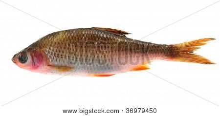 Sick Roach Fish (Rutilus Rutilus) Isolated On White Background