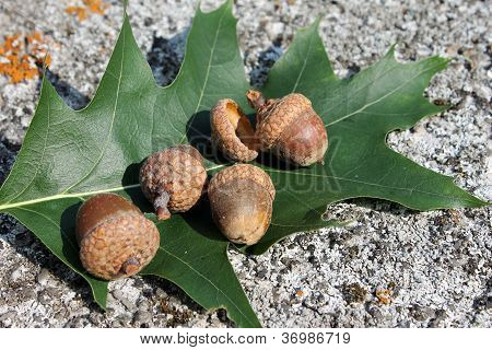 acorn and oak leaf marsh