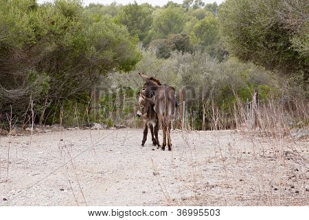 Donkeys In Field Outdoor In Summer Looking