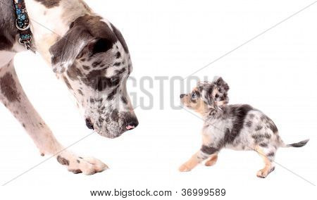 Great Dane And Chihuahua Dogs