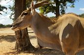 stock photo of eland  - Eland antelope  - JPG