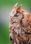 picture of screech-owl  - Eastern Screech Owl  - JPG