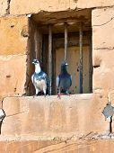 picture of street-rod  - Two pigeons at an old style window with rods - JPG