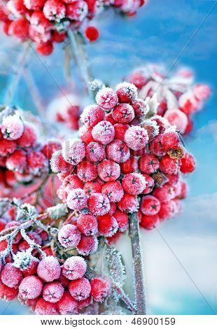 Bagas congeladas Rowan