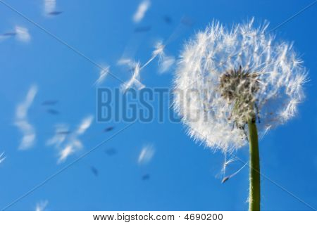 Dandelion Flying Seeds