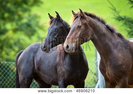 Two horses standing on green background.