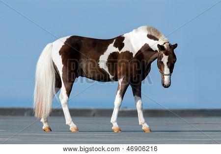 Shetland pony on blue background.