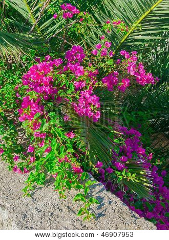 Bougainvillea Bush With Pink Flowers And Palm On A Background Texture Walls.