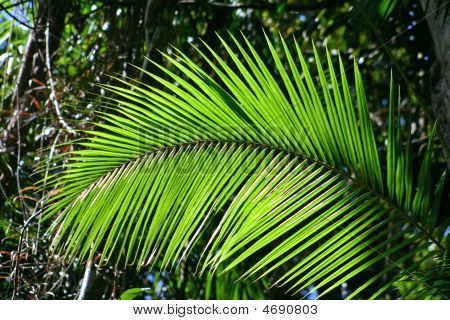Rainforest Fern