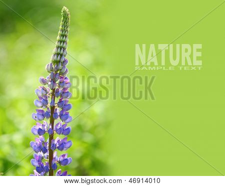 The Large-leaved Lupine (Lupinus polyphyllus) is beautiful summer flower with very toxic (psychedelic) alkaloids. Picture with space for your text.