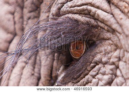 Olho do elefante
