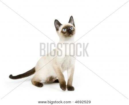 Siamese Kitten Sitting On A White Background