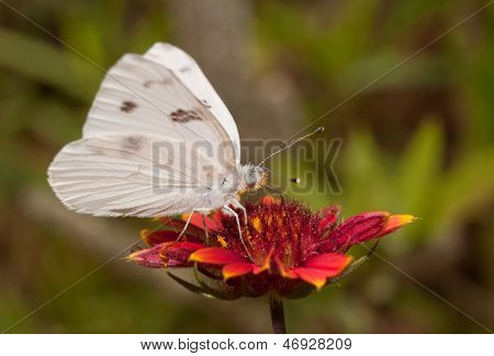 Ventral view of a Checkered White butterfly feeding on deep red Indian Blanket flower