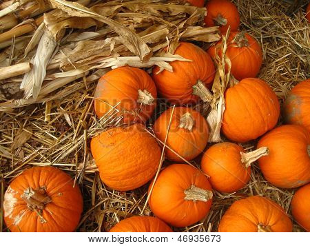 small pumpkins amid cornstalk
