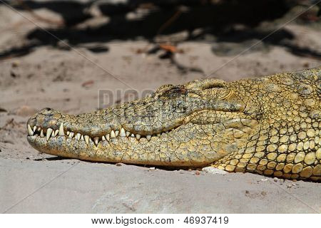 Nile Crocodile (crocodylus Niloticus) Basking In The Sun