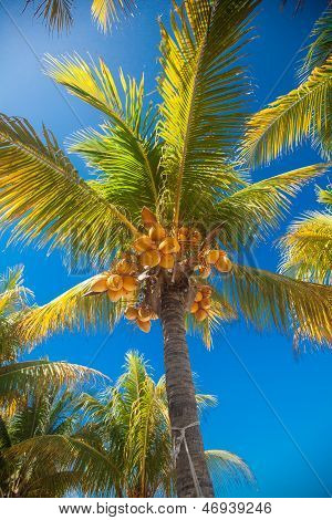 Tropical Coconut Palm Tree With Yellow Coconut Against The Blue Sky