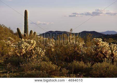 Arizona. Cacti Field In Vulture Mountains Near Wickenburg.