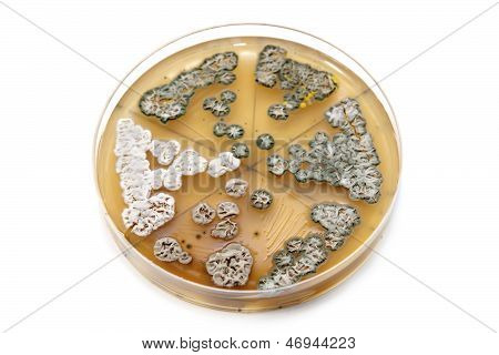 Genetically Modified Fungi On Agar Plate