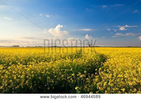Yellow Canola Field, Blue Sky And Windmill
