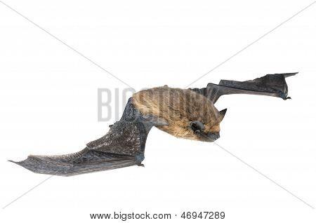 isolated bat