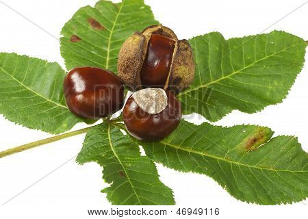 Some Horse chestnuts on green Leaves