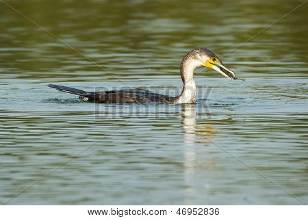 Greater Cormorant Eating A Fish