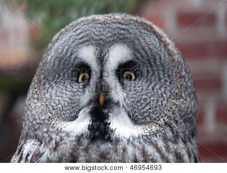 Portrait Of Great Grey Owl - Strix Nebulosa