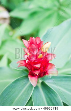 Close Up Galangal Red Flower On Green Leaf