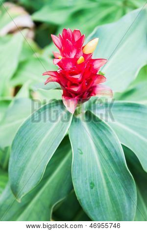 Beautiful Galangal Red Flower On Green Leaf