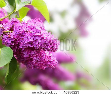 violet liliac.