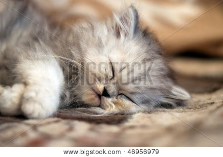 Small Persian Kitty Sleeping
