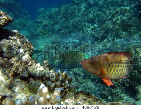 Pair Of Bridled Parrotfish At The Great Barrier Reef, Australia