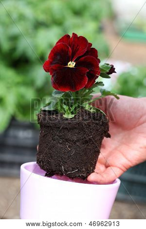 Seedling Of Red Pansy