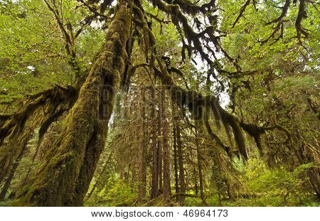 HOH Rain Forest at Olympic National Park