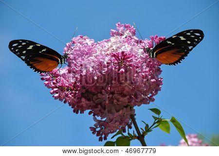 Syringa vulgaris com uma borboleta Heliconius hecate