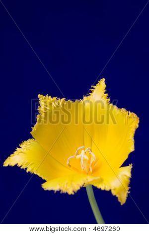Tulipa amarela