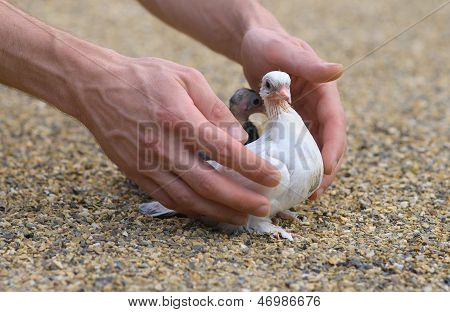 Pigeon Nestling Bird White On Sand And Man Hands Holding Birds Enter To The New World Of Baby Dove