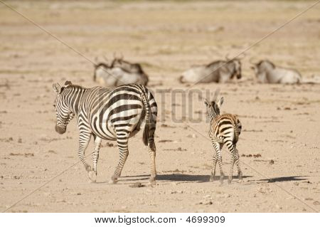Zebra With Calf
