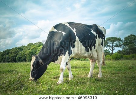 Black and white cow grazing in the meadow