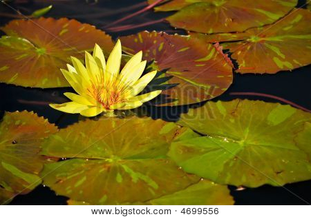 Yellow Waterlily Flower In Pond W/ Green Lily Pads