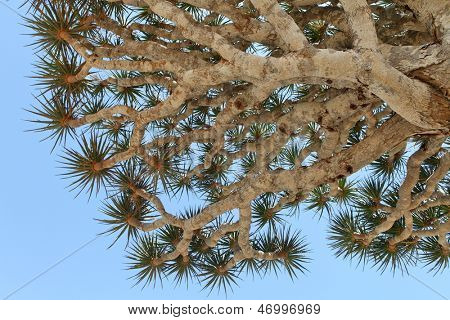 Spiky leaves of Dragon tree - Dracaena cinnabari - Dragon's blood - endemic tree from Soqotra, Yemen