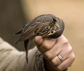 picture of brown thrush  - Thrush biting finger sitting on a hand - JPG