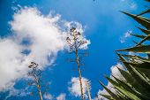 pic of didgeridoo  - The stems of natural growing agave  - JPG