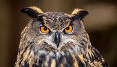 stock photo of owls  - An adult Eurasian Eagle Owl in all of its majesty - JPG