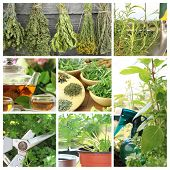 pic of horticulture  - Collage of fresh herbs on balcony garden - JPG
