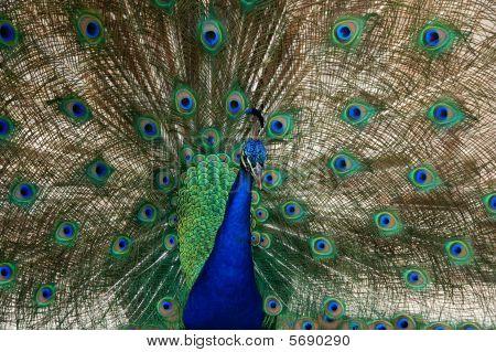 Peacock Vogel Tanz