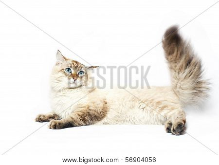 Siberian Nevsky Mask Cat