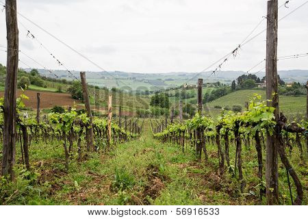 View Down Row Of Grape Vines